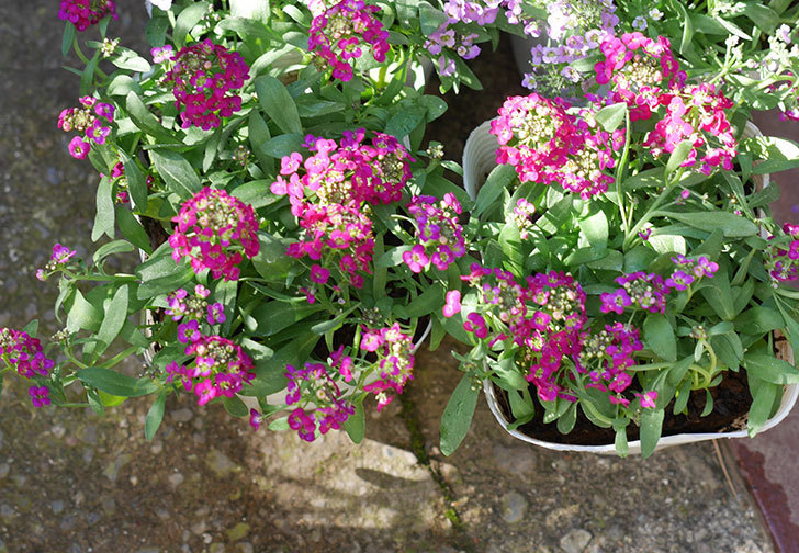 紫系のアリッサムの苗をホームズで6個買って来た。2019年-2.jpg