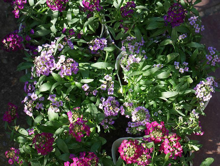 紫系のアリッサムの苗をホームズで6個買って来た。2019年-3.jpg