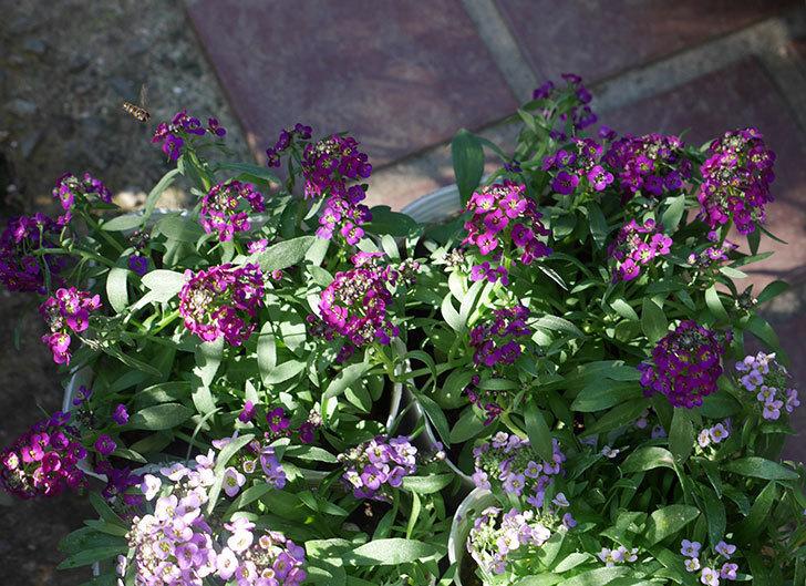 紫系のアリッサムの苗をホームズで6個買って来た。2019年-4.jpg