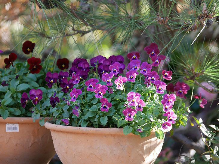 紫系のビオラの花が咲いた。2020年-001.jpg