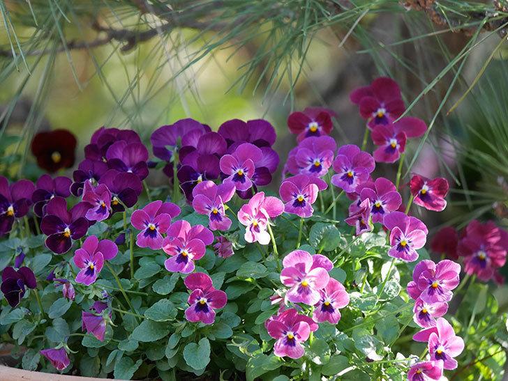 紫系のビオラの花が咲いた。2020年-002.jpg