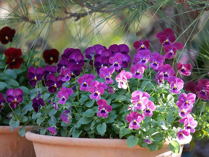 紫系のビオラの花が咲いた。2020年-003.jpg