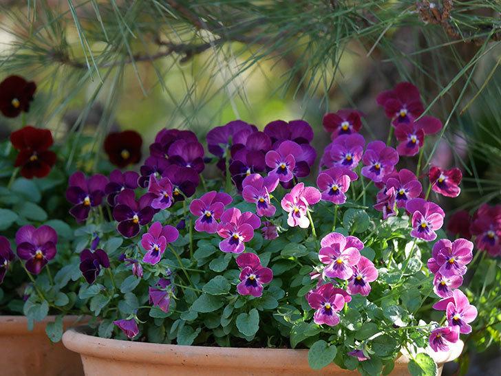 紫系のビオラの花が咲いた。2020年-004.jpg