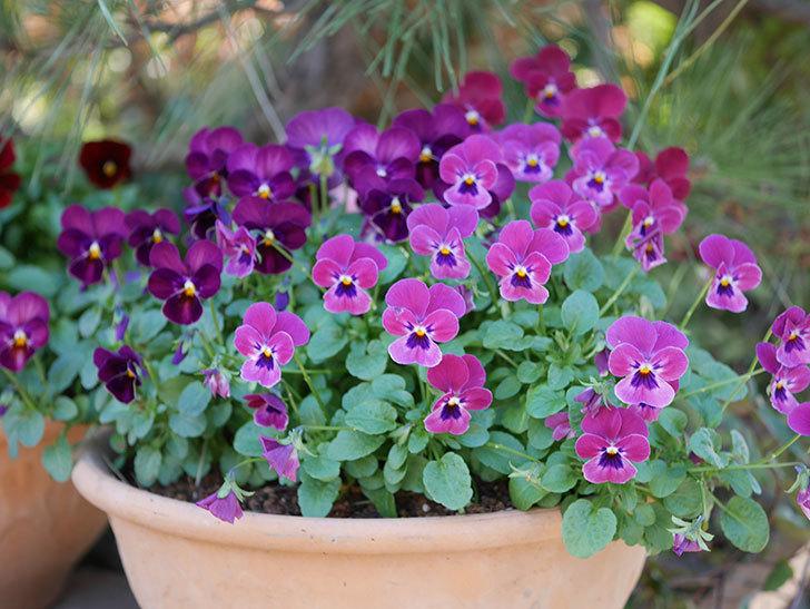 紫系のビオラの花が咲いた。2020年-006.jpg