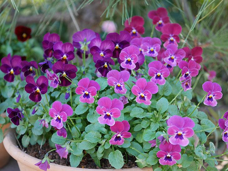 紫系のビオラの花が咲いた。2020年-007.jpg