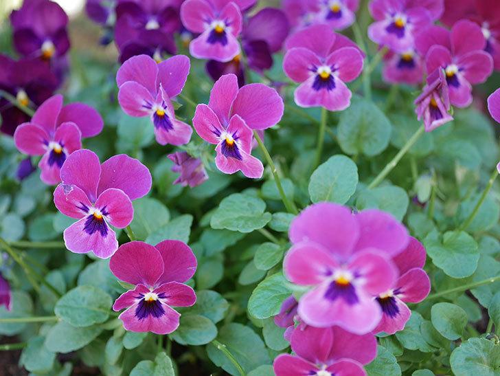 紫系のビオラの花が咲いた。2020年-008.jpg