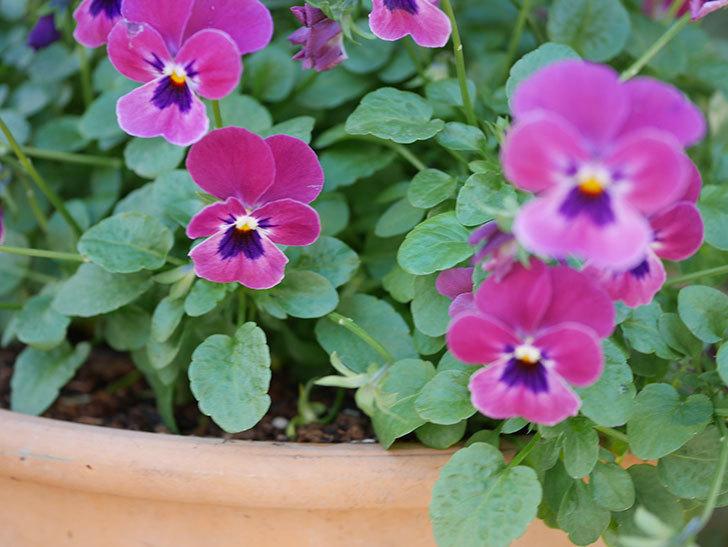 紫系のビオラの花が咲いた。2020年-009.jpg