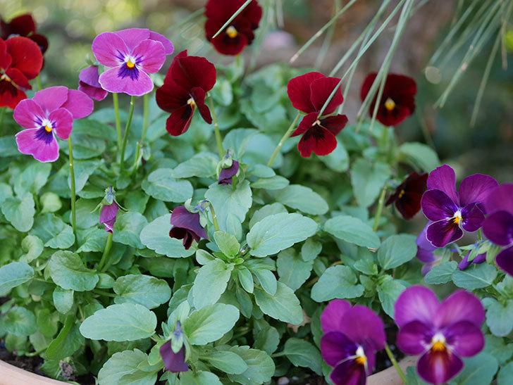 紫系のビオラの花が咲いた。2020年-011.jpg