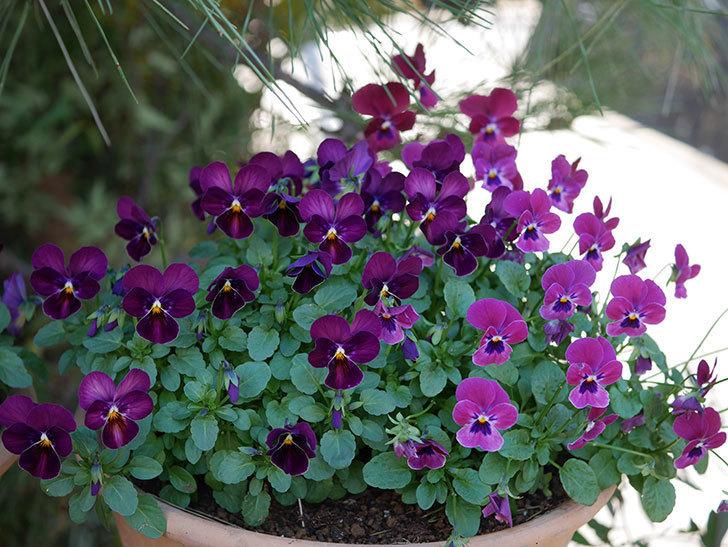 紫系のビオラの花が咲いた。2020年-013.jpg