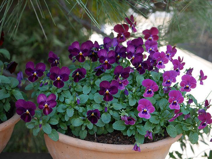 紫系のビオラの花が咲いた。2020年-014.jpg