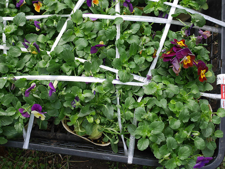 紫系のビオラの苗を15個セット998円をホームズで買って来た。2018年-2.jpg