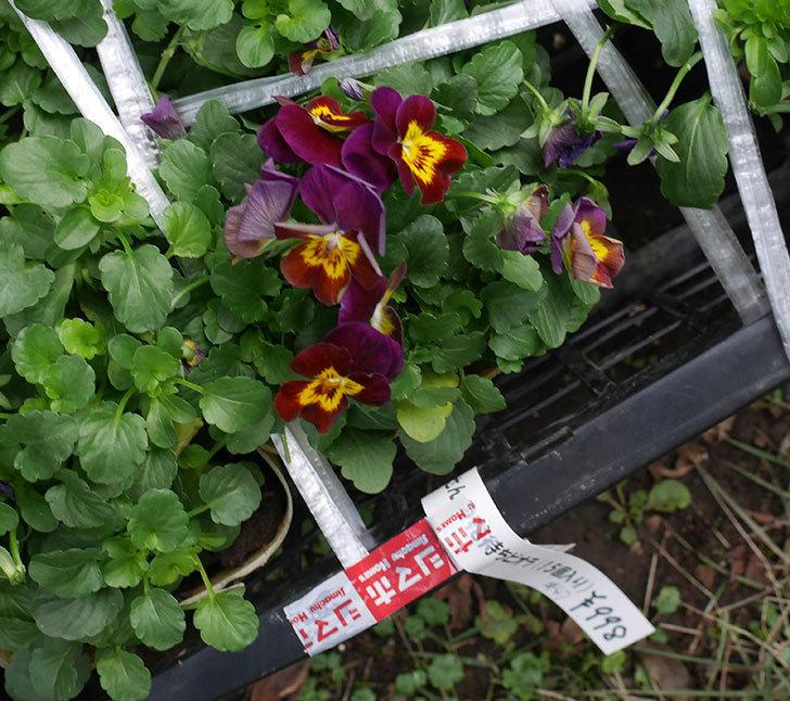 紫系のビオラの苗を15個セット998円をホームズで買って来た。2018年-3.jpg