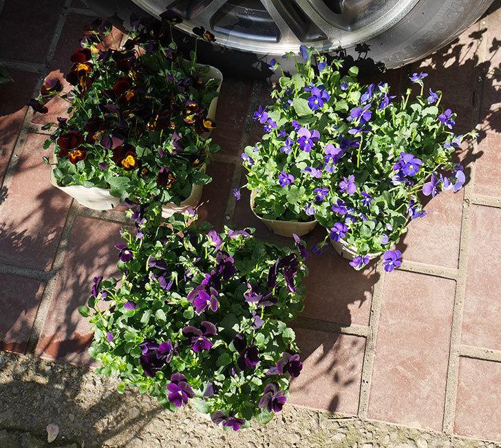 紫系のビオラの苗をホームズで12個買って来た。2019年-1.jpg