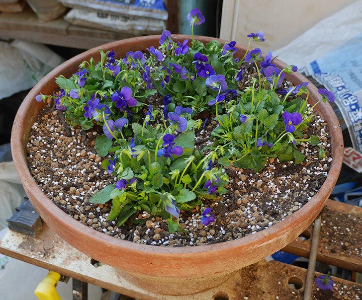 紫系のビオラの苗をホームズで12個買って来た。2019年-10.jpg