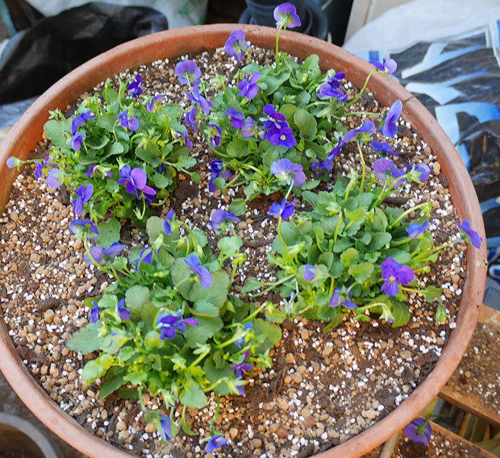 紫系のビオラの苗をホームズで12個買って来た。2019年-11.jpg