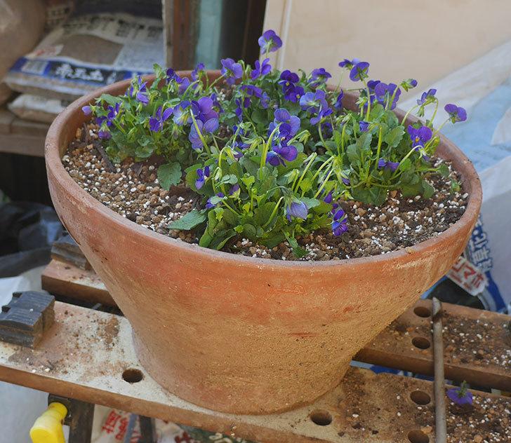 紫系のビオラの苗をホームズで12個買って来た。2019年-12.jpg