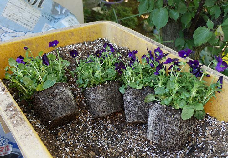 紫系のビオラの苗をホームズで12個買って来た。2019年-13.jpg