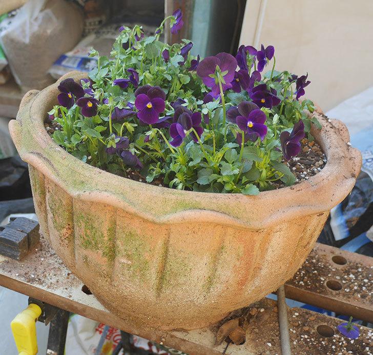 紫系のビオラの苗をホームズで12個買って来た。2019年-16.jpg