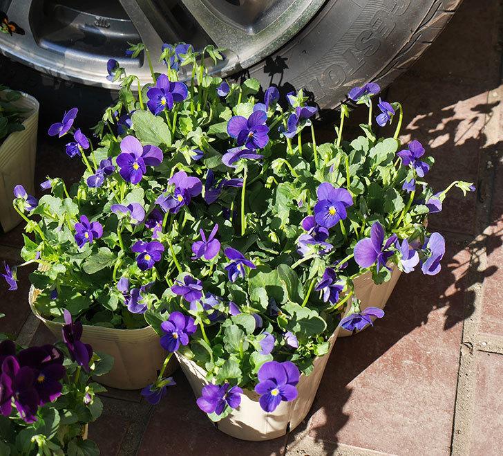 紫系のビオラの苗をホームズで12個買って来た。2019年-2.jpg