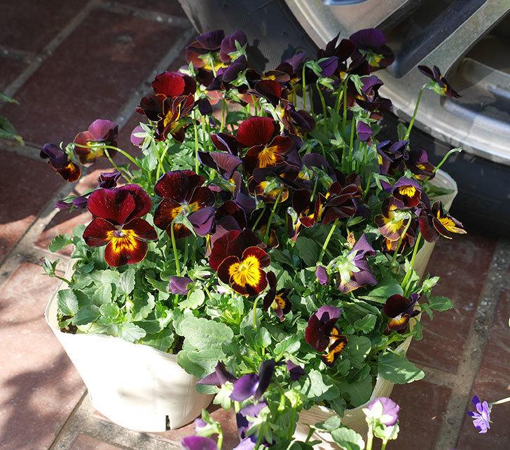 紫系のビオラの苗をホームズで12個買って来た。2019年-3.jpg