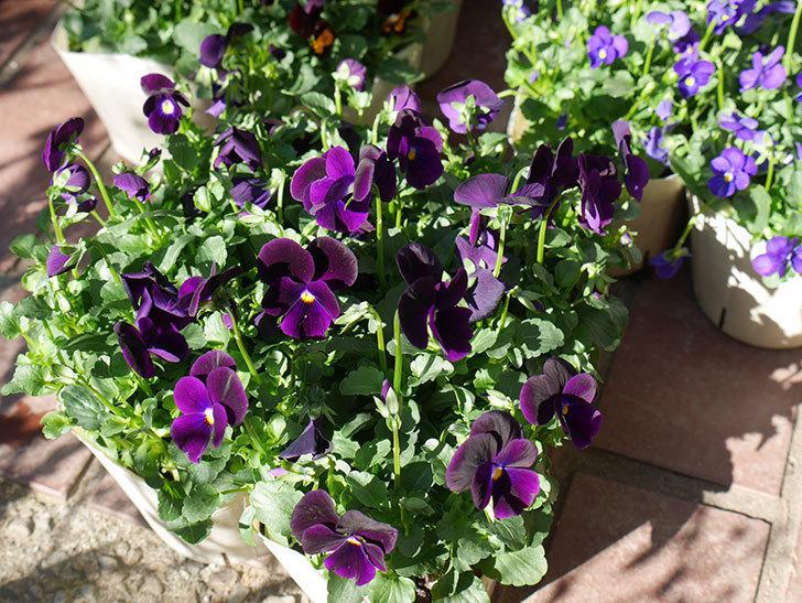 紫系のビオラの苗をホームズで12個買って来た。2019年-4.jpg