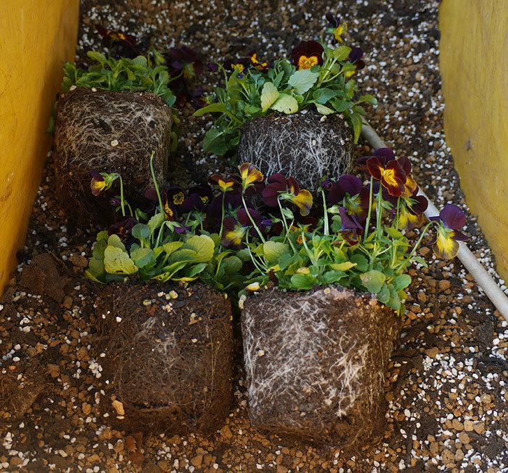 紫系のビオラの苗をホームズで12個買って来た。2019年-5.jpg