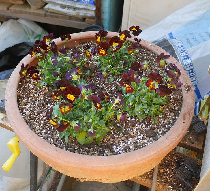 紫系のビオラの苗をホームズで12個買って来た。2019年-8.jpg