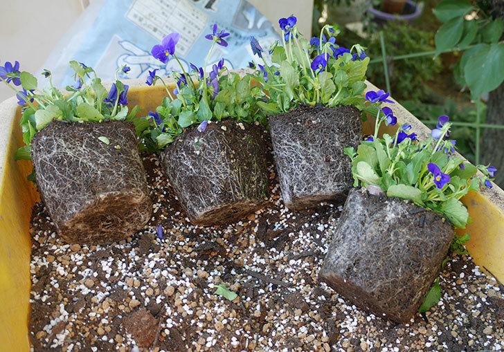 紫系のビオラの苗をホームズで12個買って来た。2019年-9.jpg