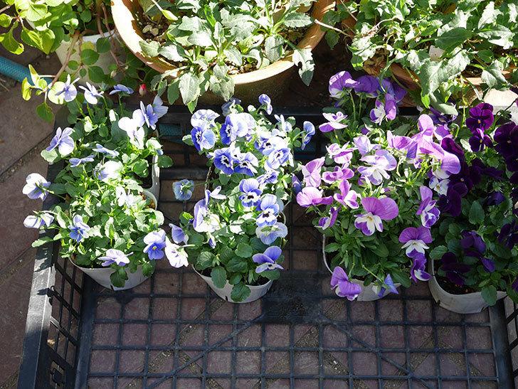 紫系のビオラの苗をホームズで8個買って来た。2020年-001.jpg