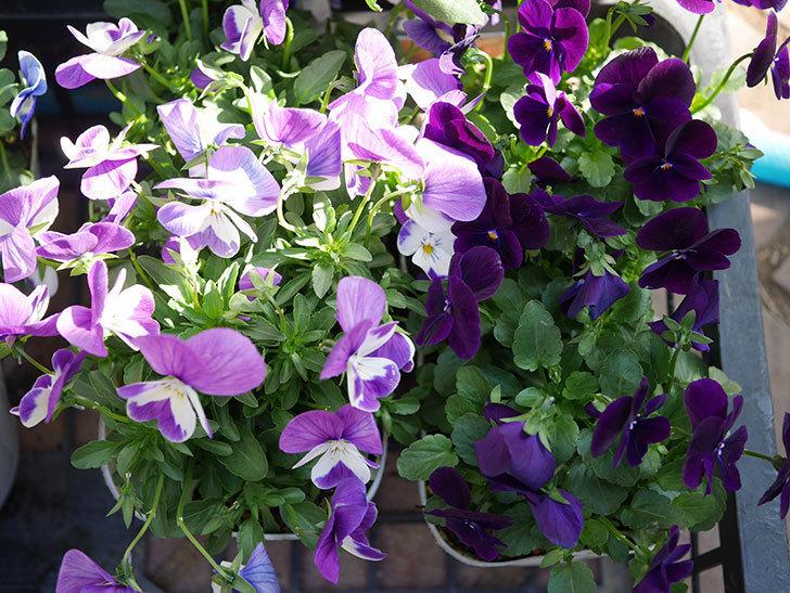 紫系のビオラの苗をホームズで8個買って来た。2020年-002.jpg