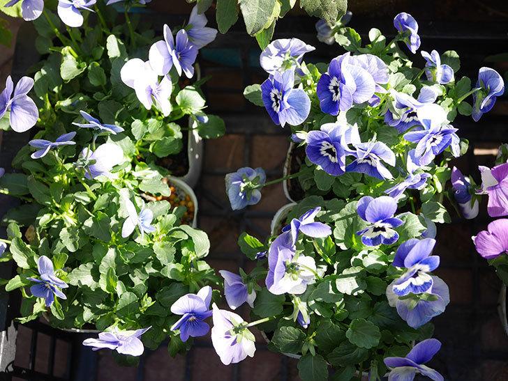 紫系のビオラの苗をホームズで8個買って来た。2020年-003.jpg
