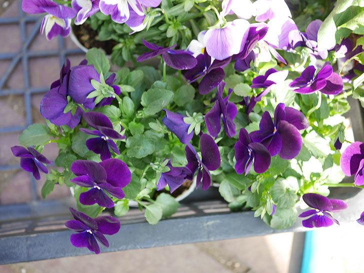 紫系のビオラの苗をホームズで8個買って来た。2020年-004.jpg