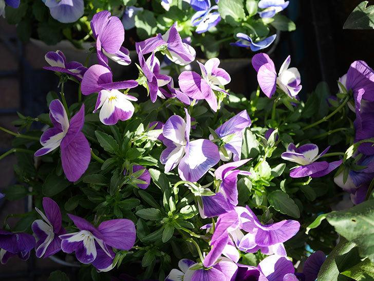紫系のビオラの苗をホームズで8個買って来た。2020年-005.jpg