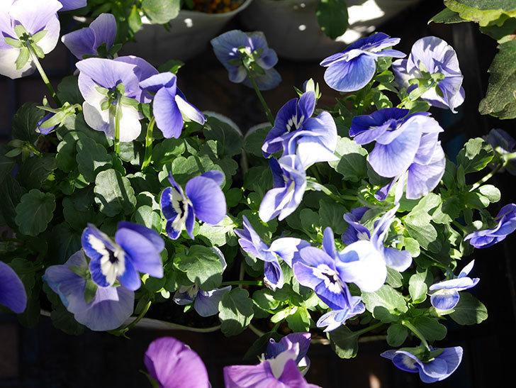紫系のビオラの苗をホームズで8個買って来た。2020年-006.jpg