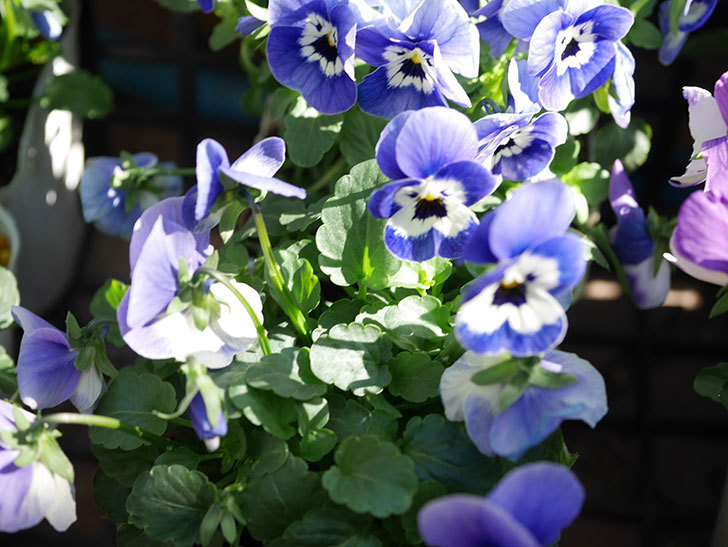 紫系のビオラの苗をホームズで8個買って来た。2020年-007.jpg