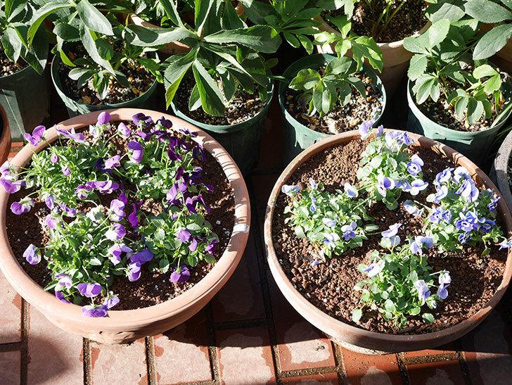 紫系のビオラの苗をホームズで8個買って来た。2020年-008.jpg