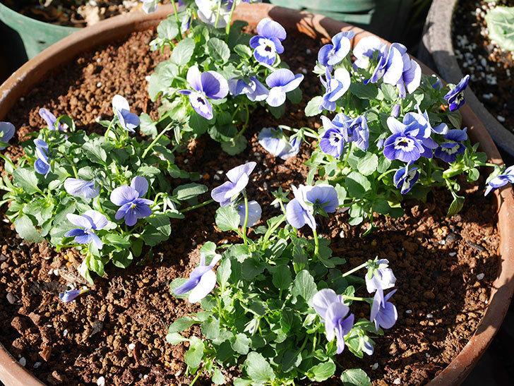 紫系のビオラの苗をホームズで8個買って来た。2020年-009.jpg