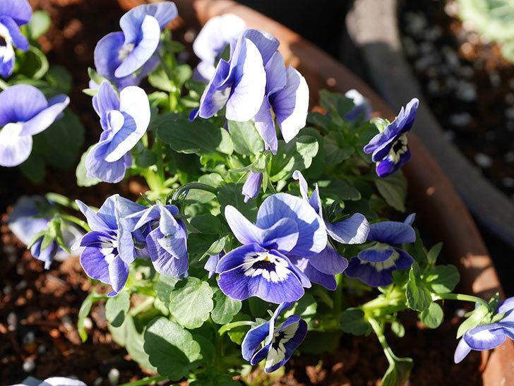 紫系のビオラの苗をホームズで8個買って来た。2020年-010.jpg