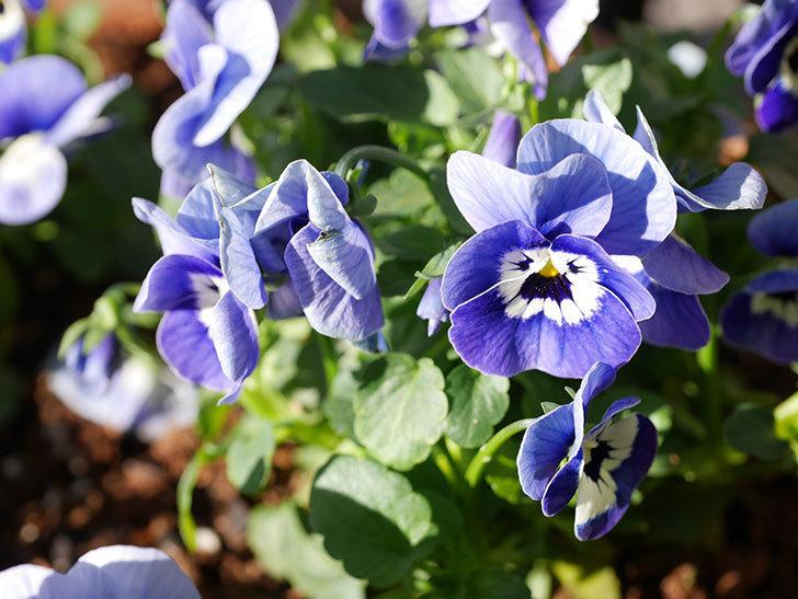 紫系のビオラの苗をホームズで8個買って来た。2020年-011.jpg