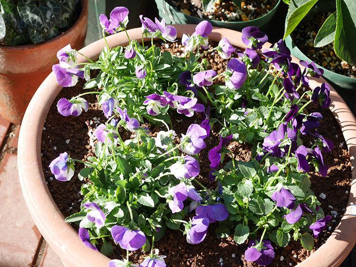 紫系のビオラの苗をホームズで8個買って来た。2020年-012.jpg