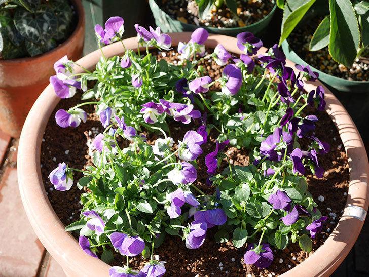 紫系のビオラの苗をホームズで8個買って来た。2020年-013.jpg