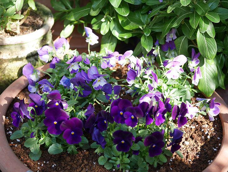 紫系のビオラの苗をホームズで8個買って来た。2020年-014.jpg