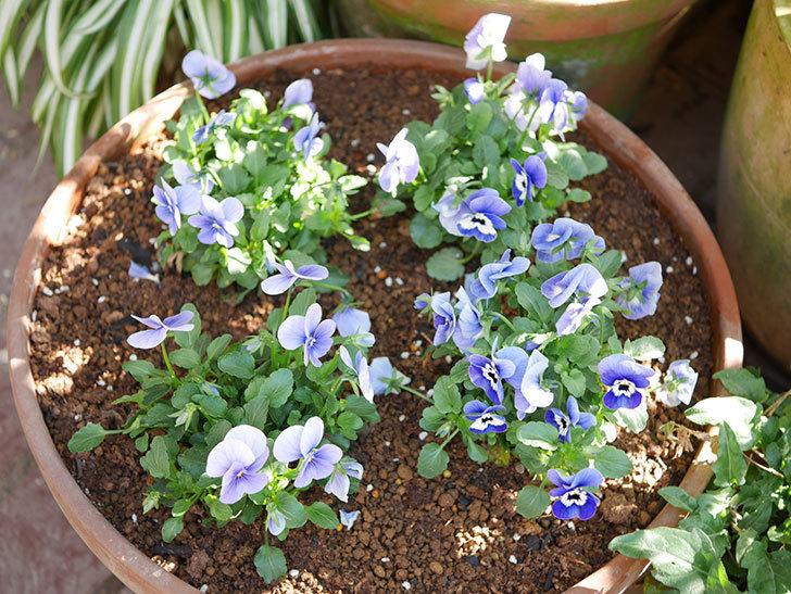 紫系のビオラの苗をホームズで8個買って来た。2020年-015.jpg