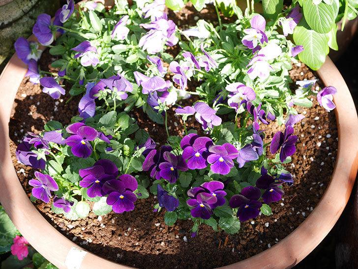 紫系のビオラの苗をホームズで8個買って来た。2020年-016.jpg