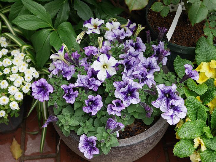 紫系のペチュニアの花が増えて来た。2020年-1.jpg