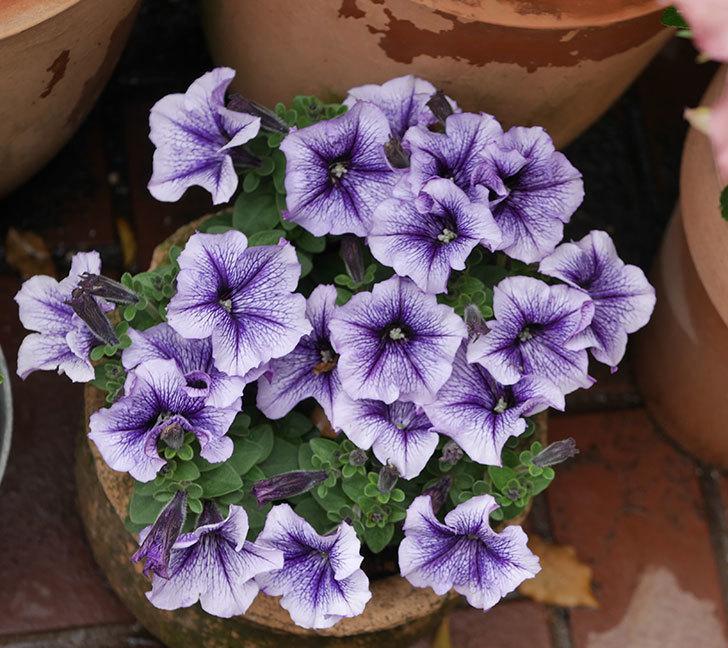 紫系のペチュニアの花が増えて来た。2020年-2.jpg