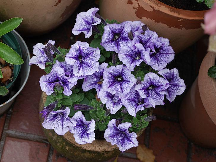 紫系のペチュニアの花が増えて来た。2020年-3.jpg