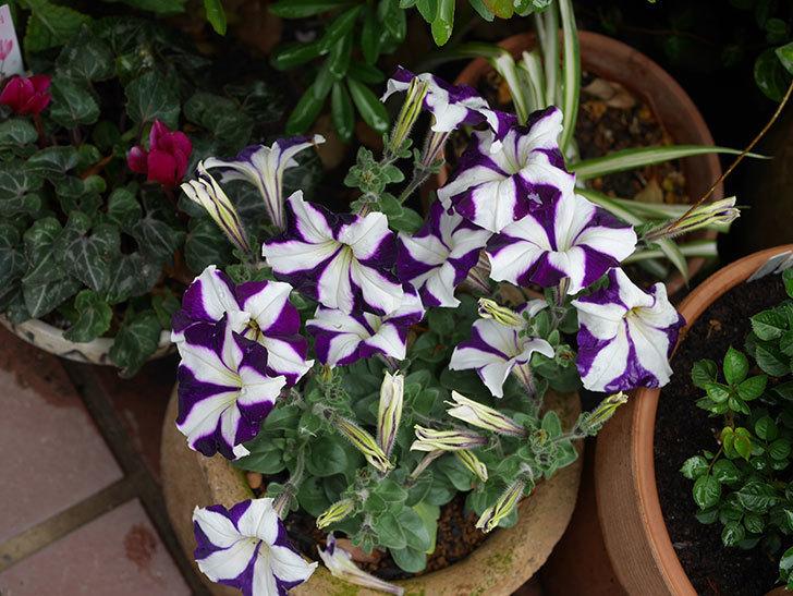 紫系のペチュニアの花が増えて来た。2020年-4.jpg