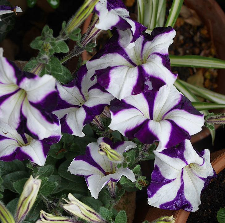 紫系のペチュニアの花が増えて来た。2020年-5.jpg