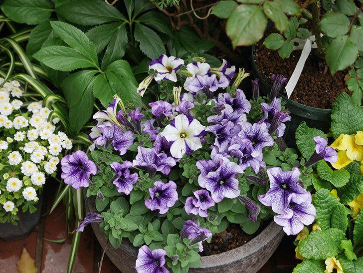 紫系のペチュニアの花が増えて来た。2020年-7.jpg